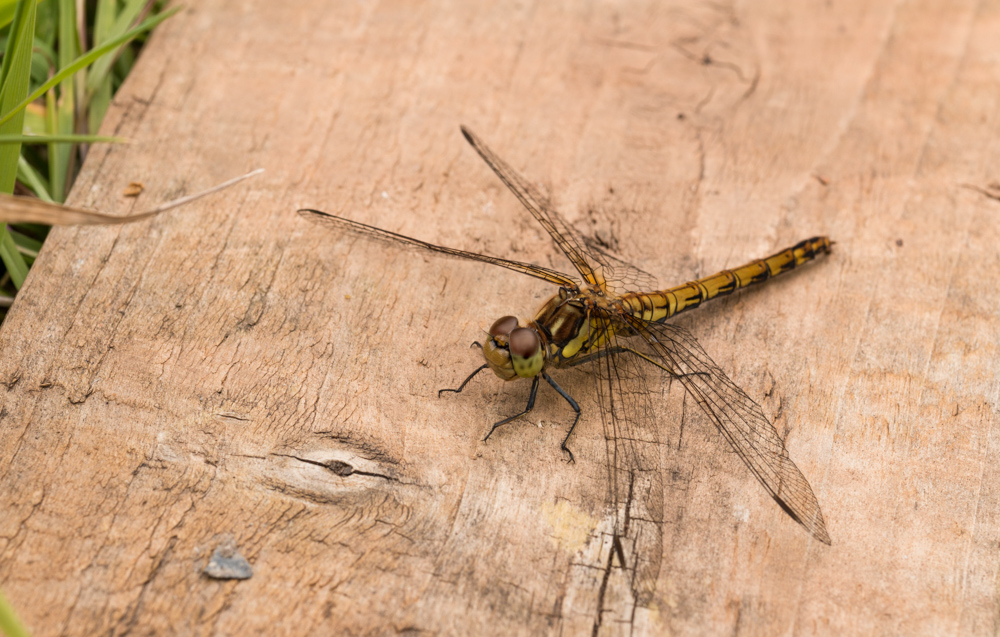 Common Darter dragonfly, old plank of wood. Orangefield park, Belfast