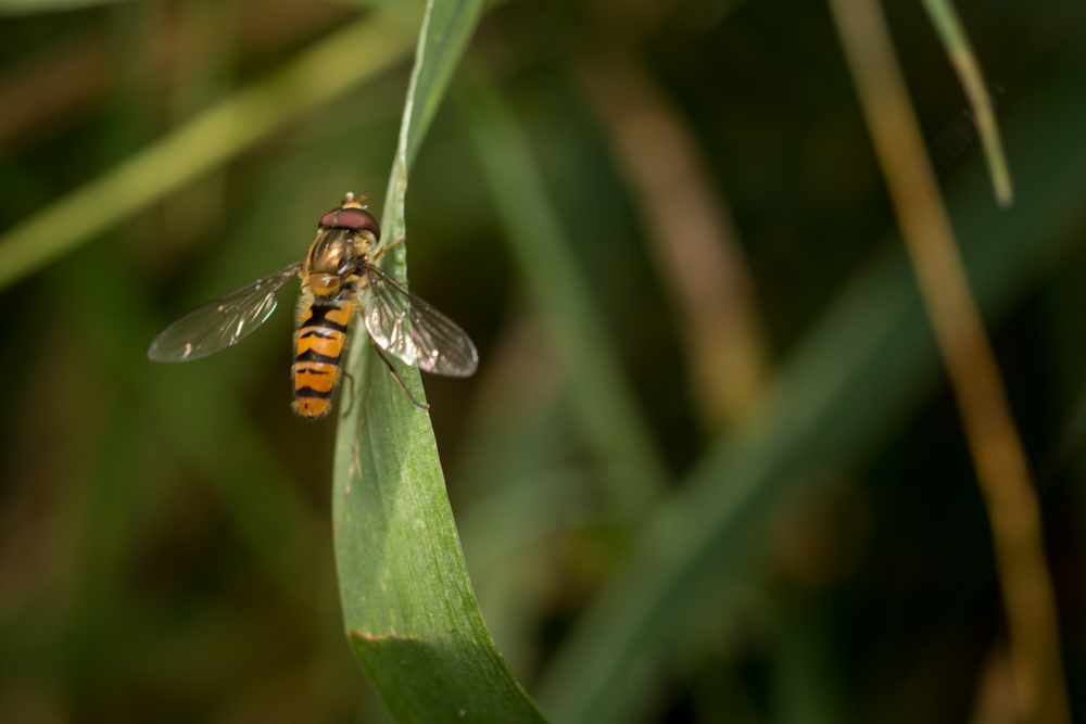 Hoverfly, scrubland, Northern Ireland