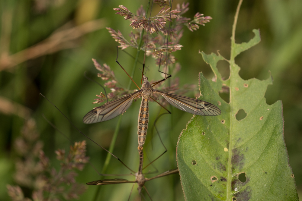 Cranefly, insect,scrubland, Northern Ireland