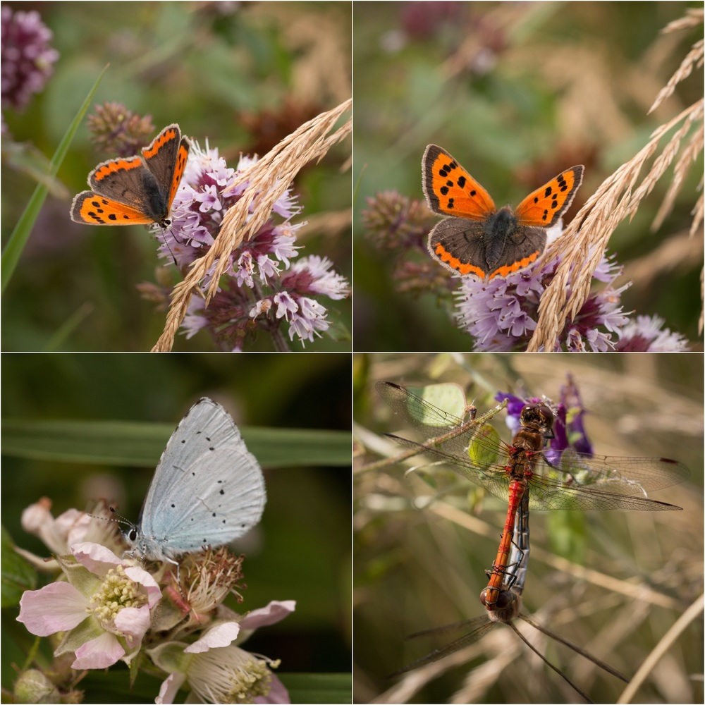 Small Copper butterflies : Holly Blue butterfly : Common Darter dragonflies