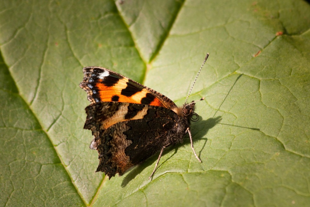 Rich reward : Small Tortoiseshell butterfly