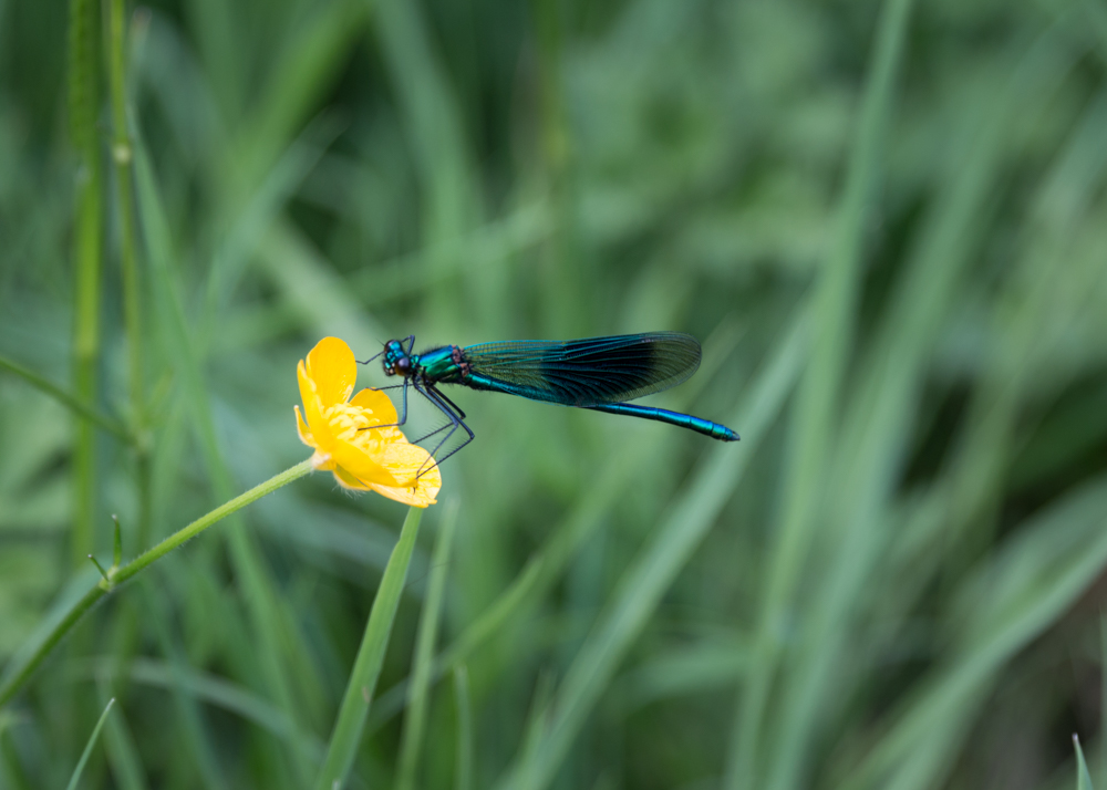Banded Demoiselle : male
