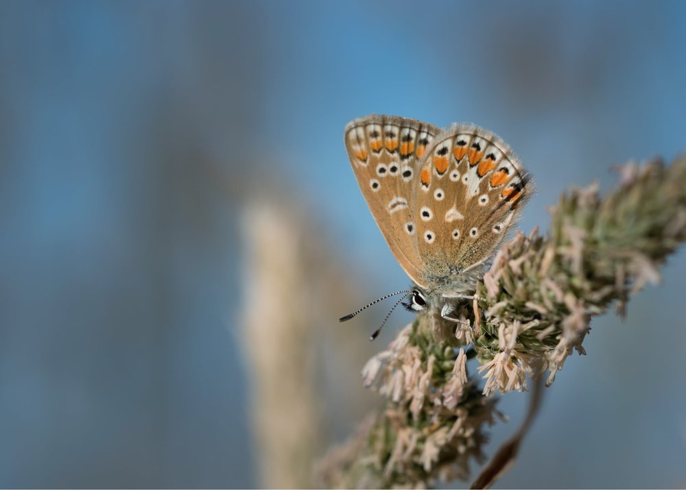 common blue and not just one or two