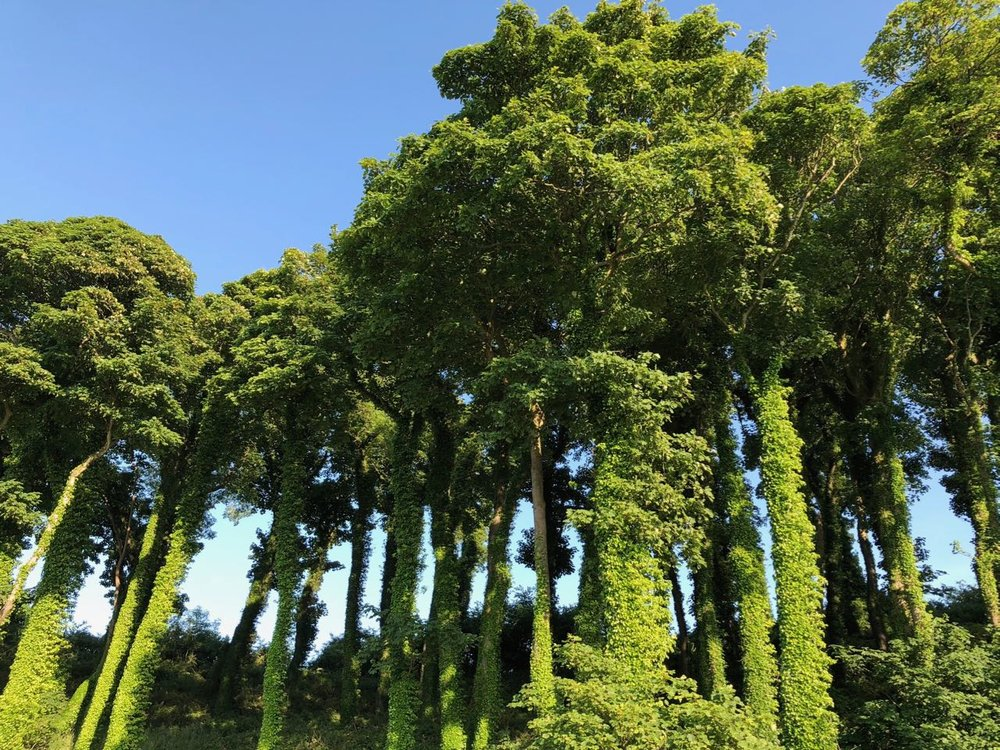 broccoli trees