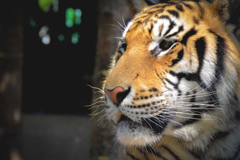 tiger-1-2.jpg