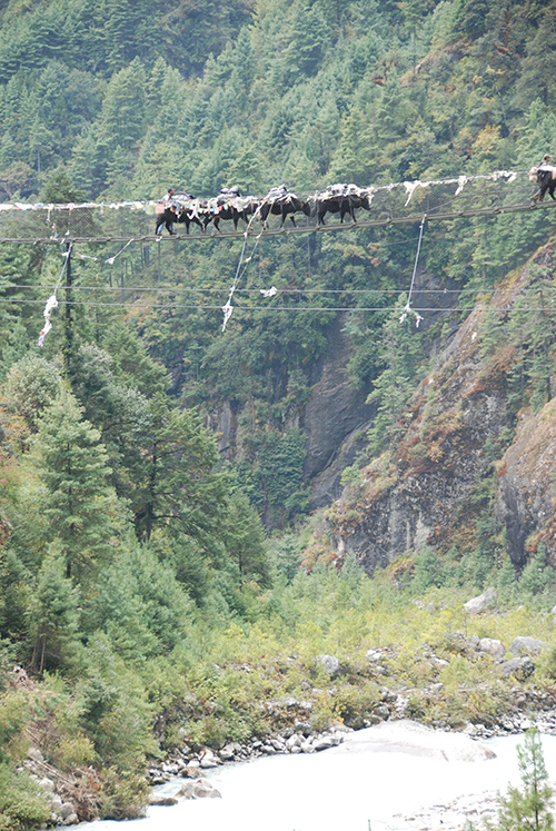 Yaks on suspension bridge