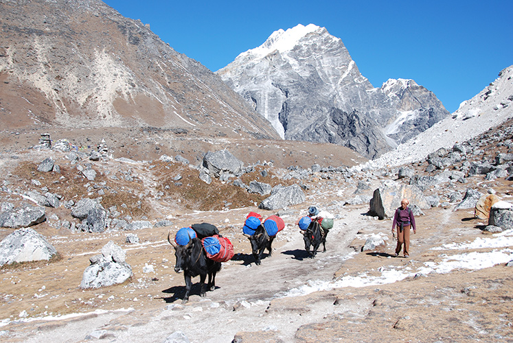 Yaks coming down from the Khumbu Glacier