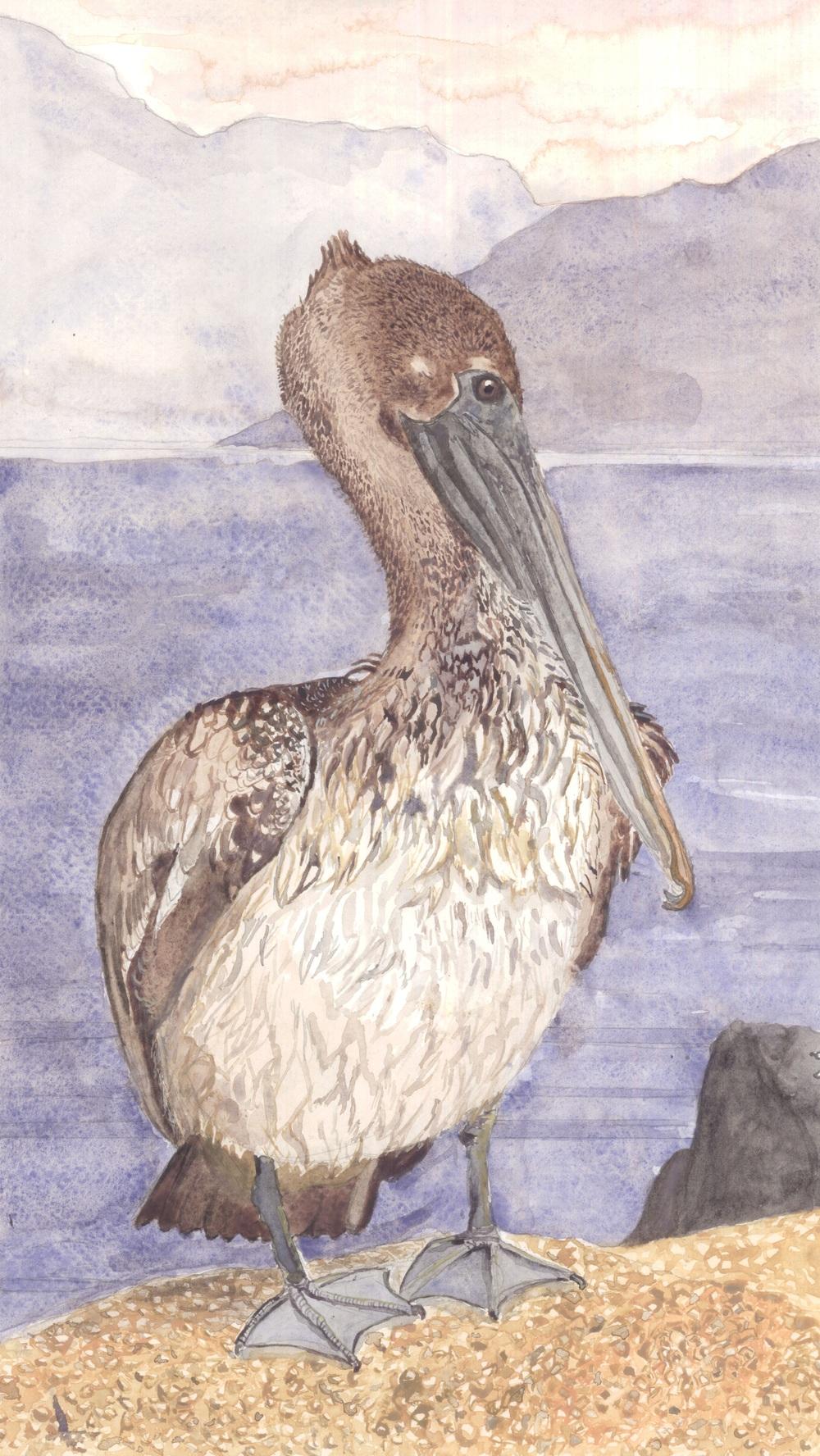 Juvenile Brown Pelican at the Salton Sea in Southern California
