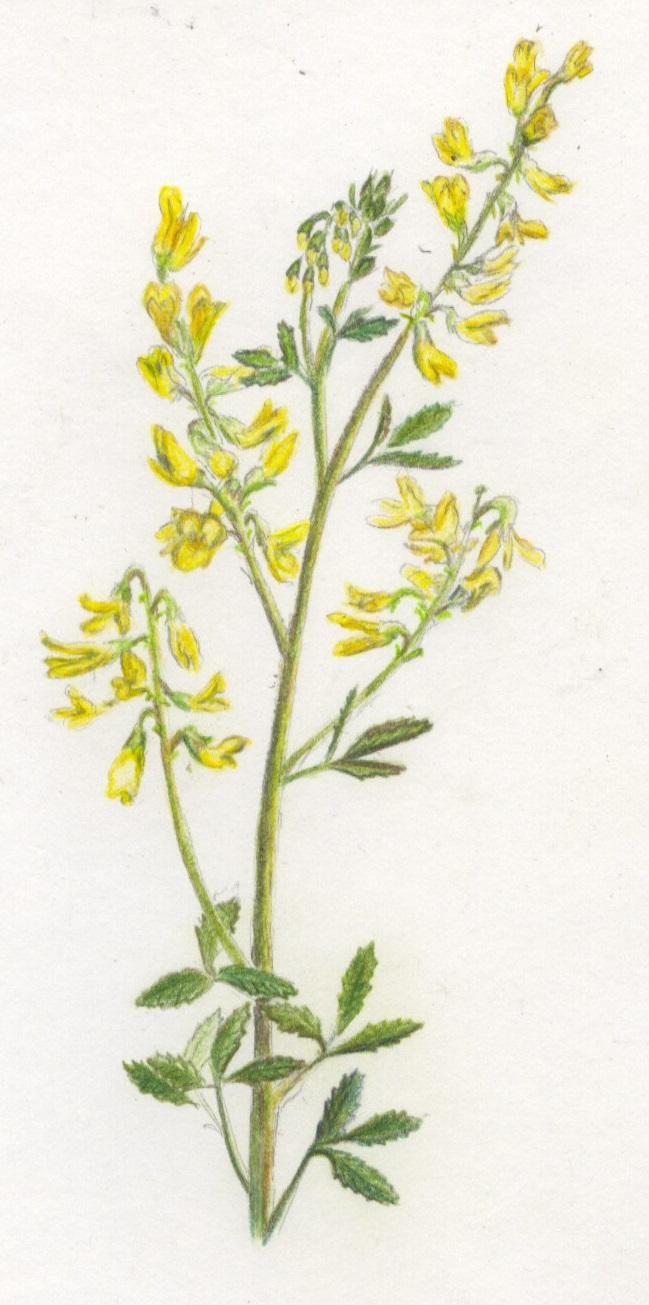 Yellow Sweet Clover,   Melilotus officinalis, a common invasive species in North America. A native species of Eurasia