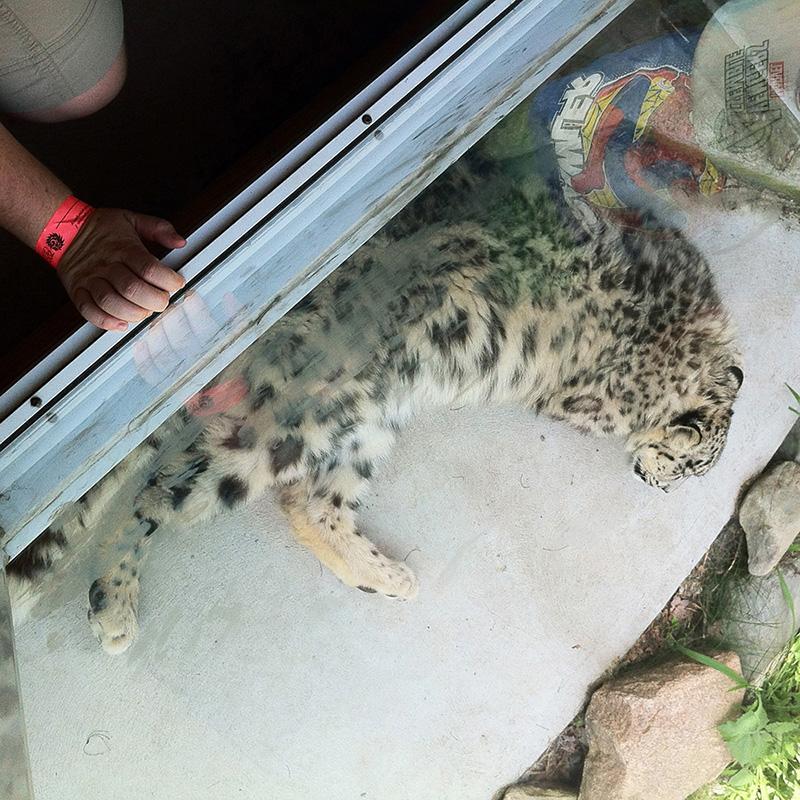 Ce léopard (quoique c'est peut-être un guépard, on a jamais su la différence).
