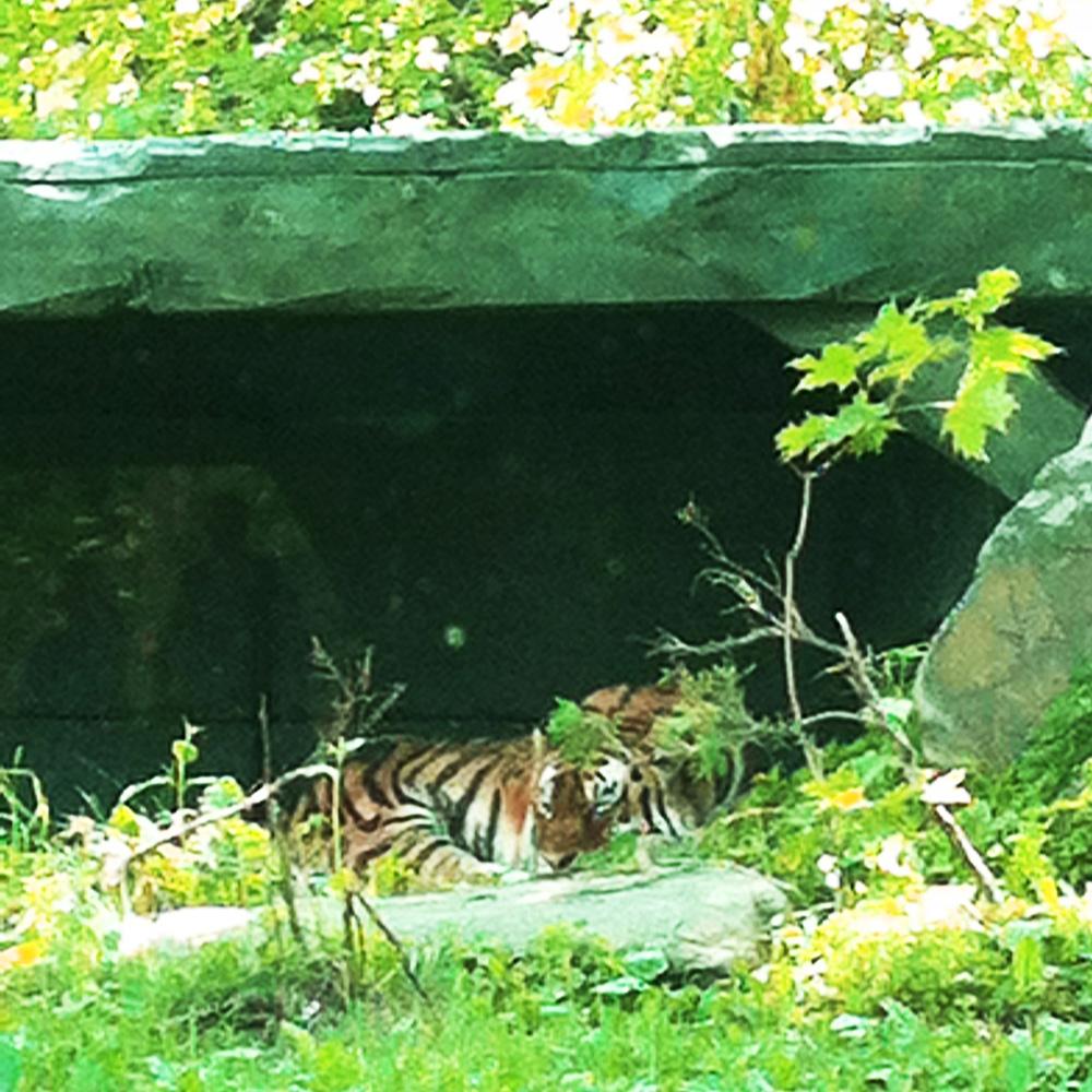Ce tigre.