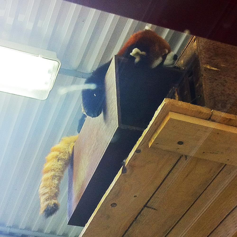Ce panda roux. (On a assumé que la queue c'est pas la sienne, mais que l'animal à qui ça appartient doit lui aussi avoir le goût de s'tirer).