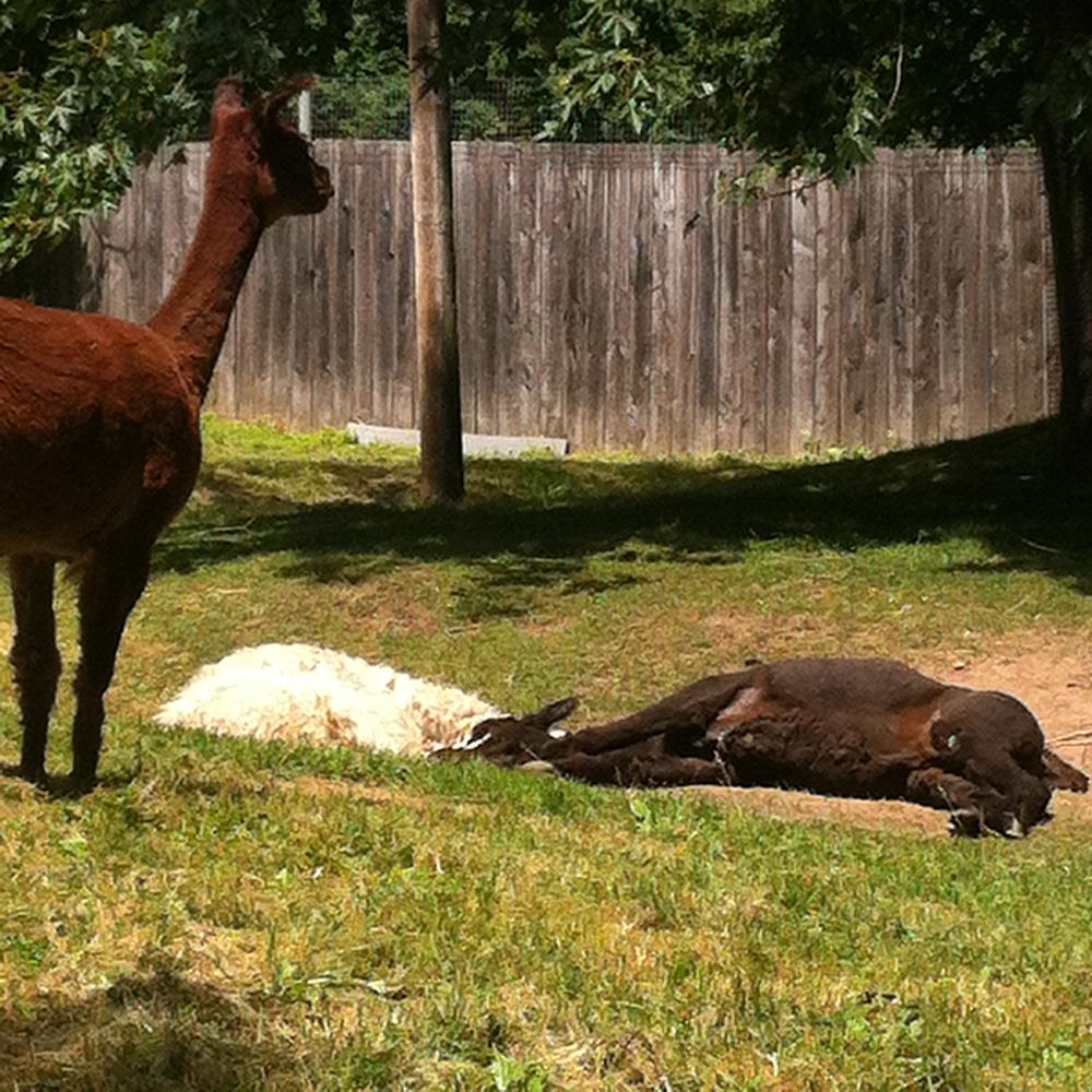Ces lamas. Celui à droite on l'a nommé Kuzco, comme dans Un Empreur Nouveau Genre. Y répondait pas quand on l'appelait par contre.