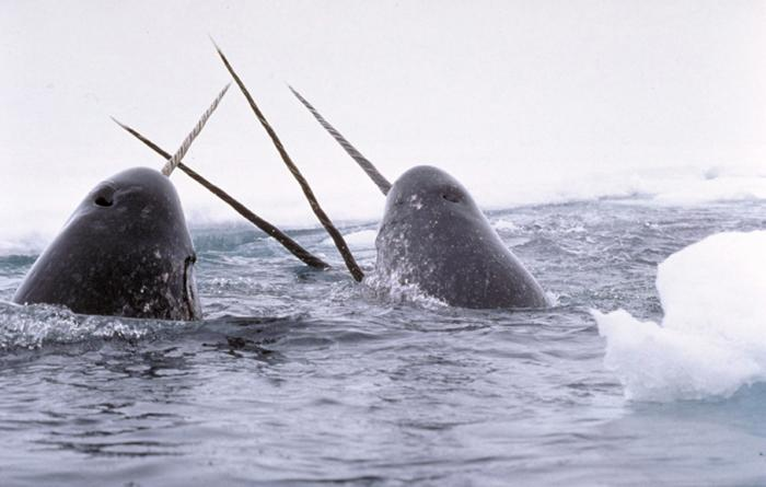 narwhals_breach