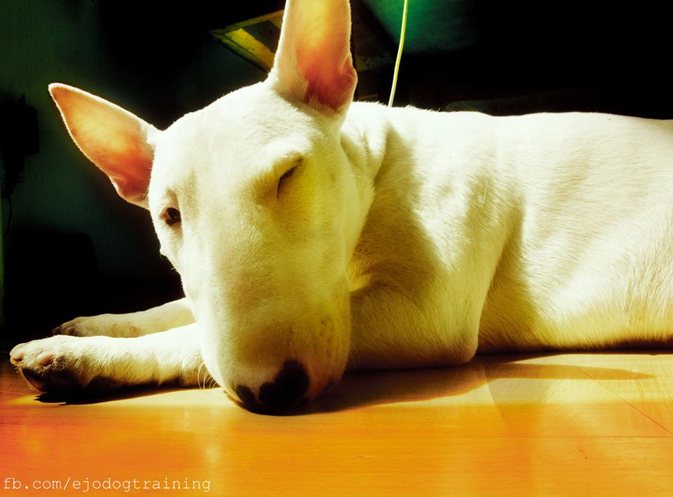 """• Around 1892 breeds such as the Bull Terrier went from being bred for performance to being bred for appearance. Originally designed to kill rats, bait bulls, maul bears tied to poles, and even break down its own kind; it now resides across the world as an egg headed """"gentleman's companion"""". Through established breeding and a targeted appearance in mind, dogs such as Dalmations, Whippets, Pointers and Greyhounds where used. Borzois and Collies where thrown into the breeding project as well, in order to reduce the stop and normal bridge of the canine skull. Unique as all hell, and still showing signs of its blood origin, the Bull Terrier is surely one notable and ever-changing dog."""