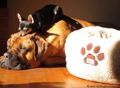 • Domestic dogs size variation is greater then any other terrestrial mammal on earth.