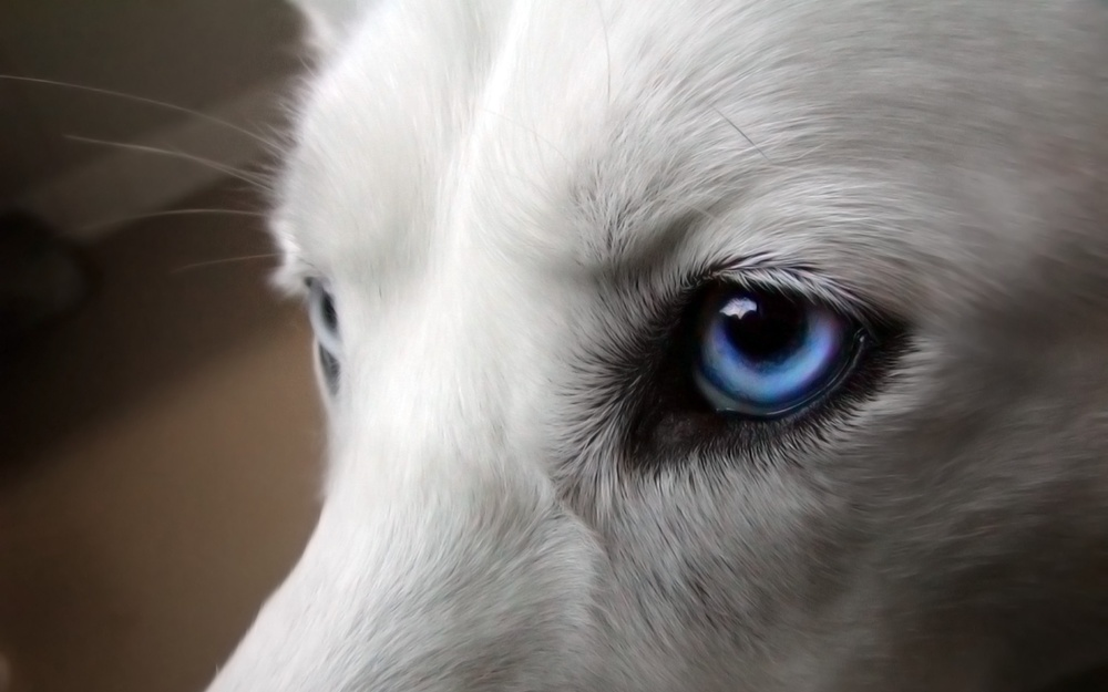 • Dogs are uncommonly powerful physically and use this power to good advantage. When trained to draw loads the muscles become strong out of all proportion to his size. Six sled dogs can draw a load equal to what two horses handle.