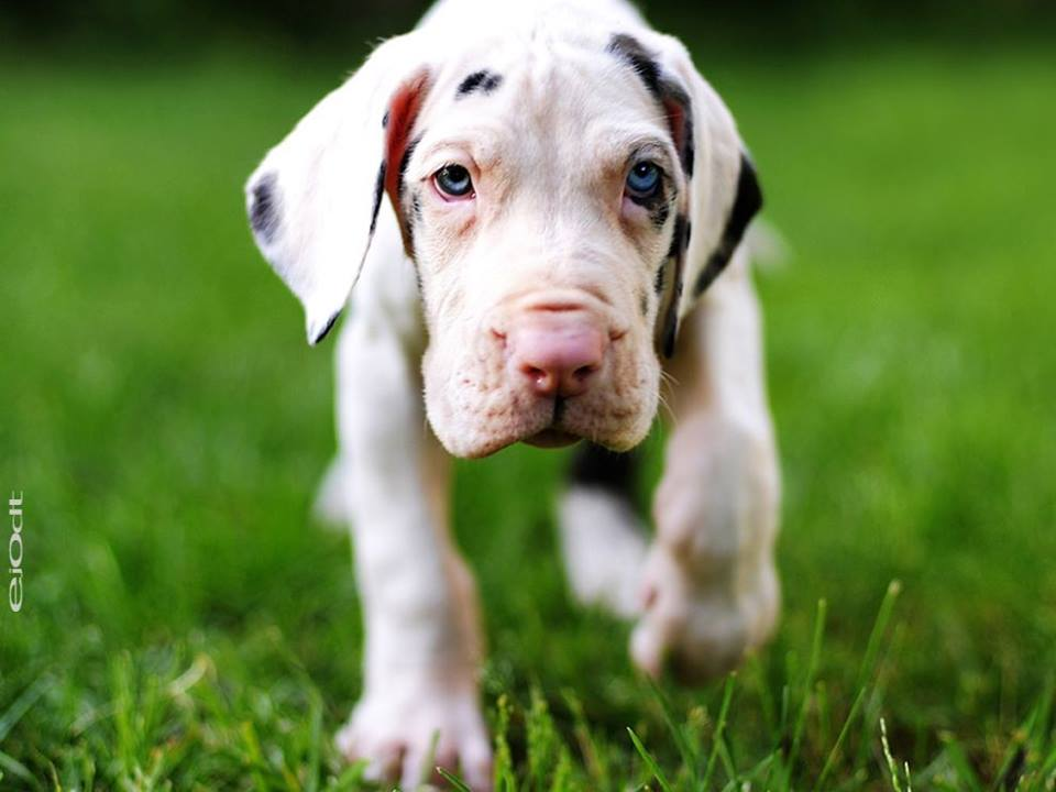 Born at only 1-2lbs, a Great Dane will tip the scales at 135-200+lbs within only 12 months! That's 14lbs of muscle, fat & bone per month! Or 1 Pomeranian per week!