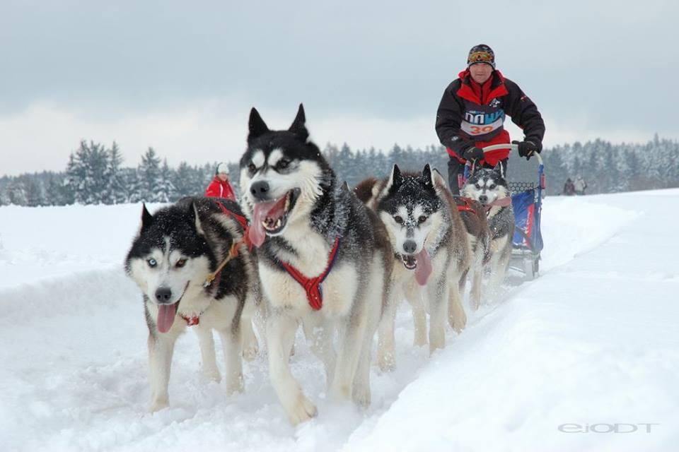 • No one knows who might have been the first human to harness a dog to a sled. The earliest archaeological evidence of dog harnesses and other specialized equipment for dog traction occurs in Canadian Thule sites, and it may have been these people who invented this mode of transportation that greatly increased the range of winter hunting and travel at some point between AD 1000 and AD 1600