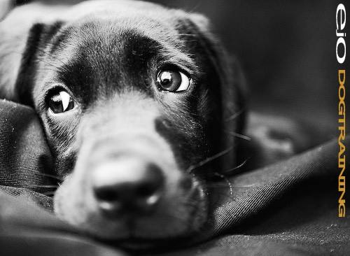 """• Dogs have three eyelids. The third lid, called a nictitating membrane or """"haw"""" keeps the eye lubricated and protected. Other mammals possessing these natural windshield wipers are seals, polar bears, and camels. That little chunk of red in the corner of our own eye is remnant of a nictitating membrane in humans!"""