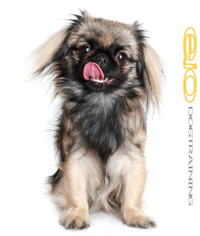 """• One kind of Pekingese is referred to as a """"sleeve"""" because it was bred to fit into a Chinese empress' sleeves, which was how it was often carried around"""