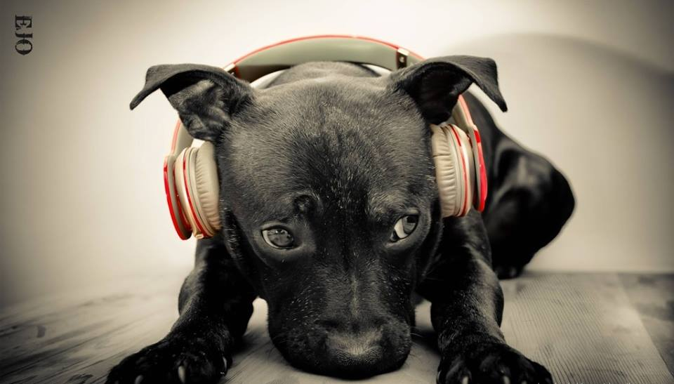 Dogs detect sounds as low as the 16 to 20 Hz frequency range (compared to 20 to 70 Hz for humans) and above 45 kHz(compared to 13 to 20 kHz for humans) and in addition have a degree of ear mobility that helps them to rapidly pinpoint the ex  act location of a sound. Eighteen or more muscles can tilt, rotate, raise or lower a dog's ear. Additionally, a dog can identify a sound's location much faster than a human can, as well as hear sounds up to four times the distance that humans are able to. Those with more natural ear shapes, like those of wild canids such as the fox, generally hear better than those with the floppier ears of many domesticated species.