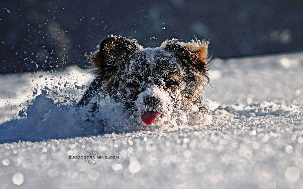 In winter- when on a chase, dogs feet do a wonderful job in order to keep them on the snow surface, each hind foot falling exactly into the print of the foot in front. A technique in the animal kingdom called double registering.