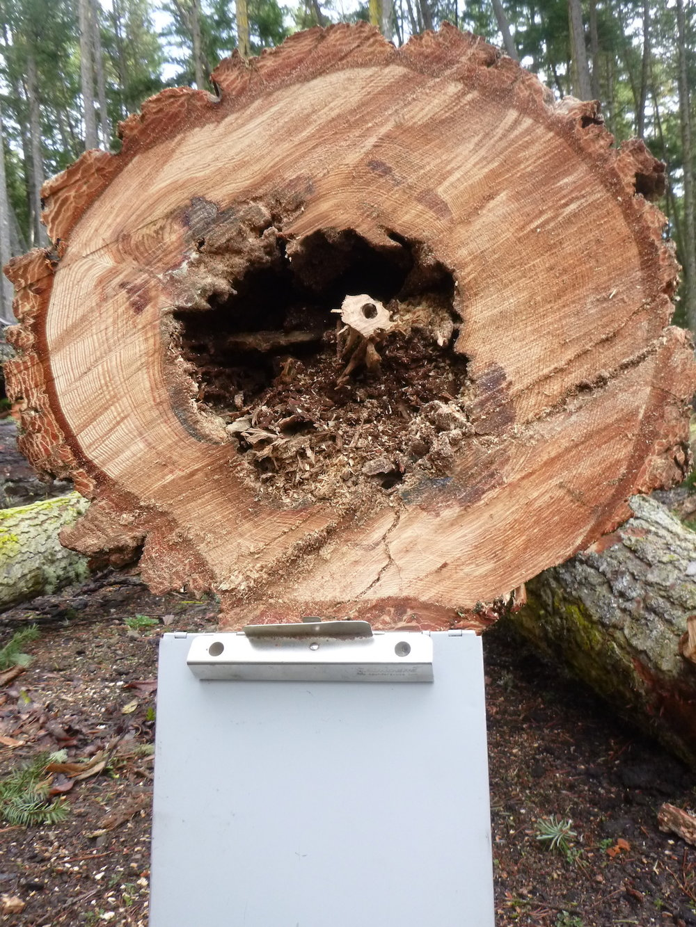Knock, knock... - The developing hollow in this older Douglas fir was undetectable from the outside.  One sign gave away that there might be a large defect in the tree. Find out what on the Contacts page