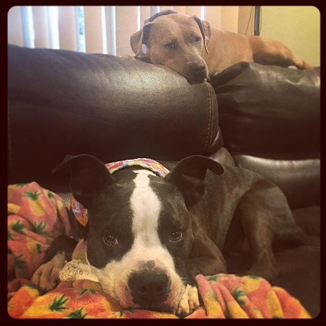 Couch Puppies #pitbullsofinstagram #pitbulls #muttsofinstagram