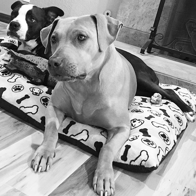 🐾 Lounging 🐾  #pitbullsofinstagram #blackandwhite