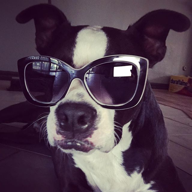 #pitbullsofinstagram