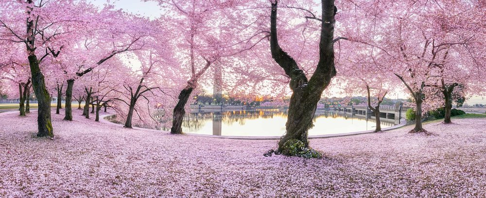 Cherry blossom carpet washington.jpg