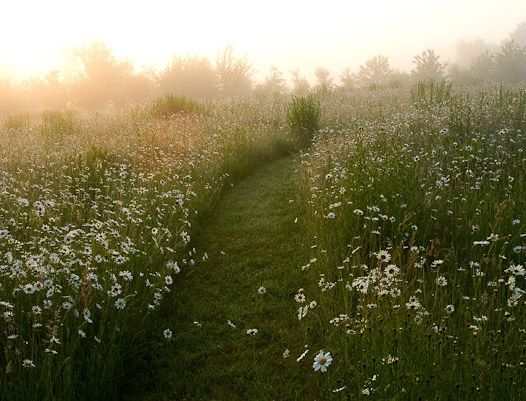 midsummer light daisy meadow.jpg