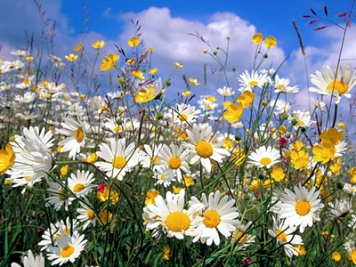 daisies in field.jpg