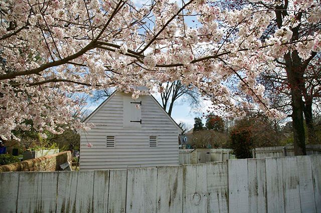 yorktown cherry blossoms.jpg