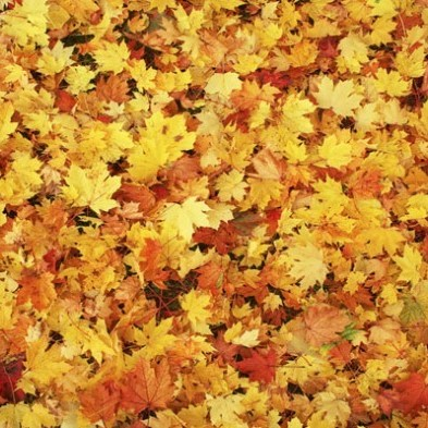 fall leaves. yellow (2).jpg