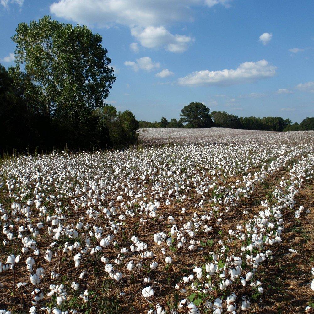 cotton field albemarle nc (2).jpg