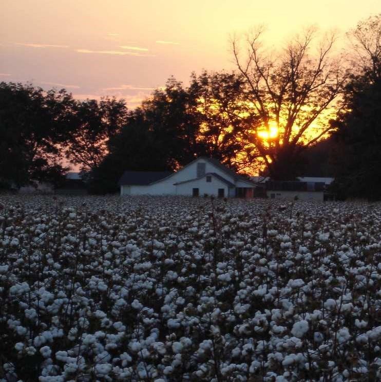cotton field sunrise (2).jpg