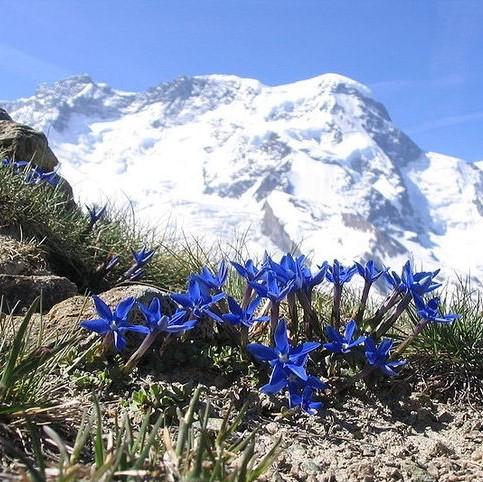 gentian alps (2).jpg