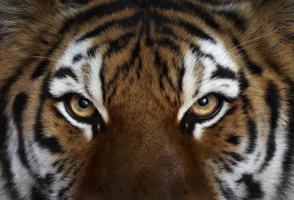 Tiger #4, Los Angeles, CA, 2010 by Brad Wilson