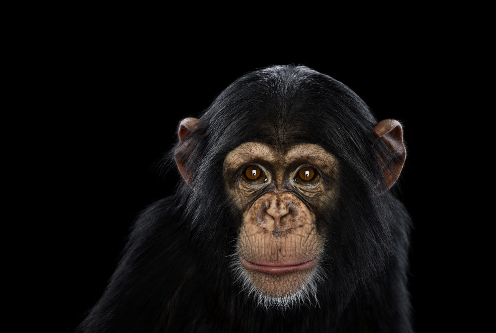 Chimpanzee #11, Los Angeles, CA, 2014 by Brad Wilson