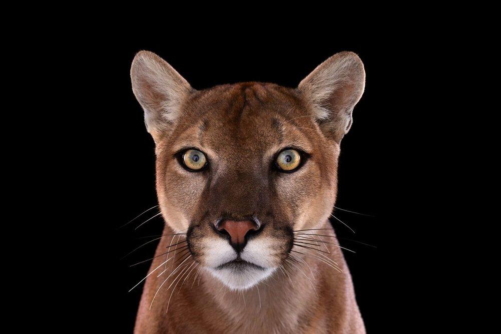 Mountain Lion, Los Angeles, CA, 2011 by Brad Wilson