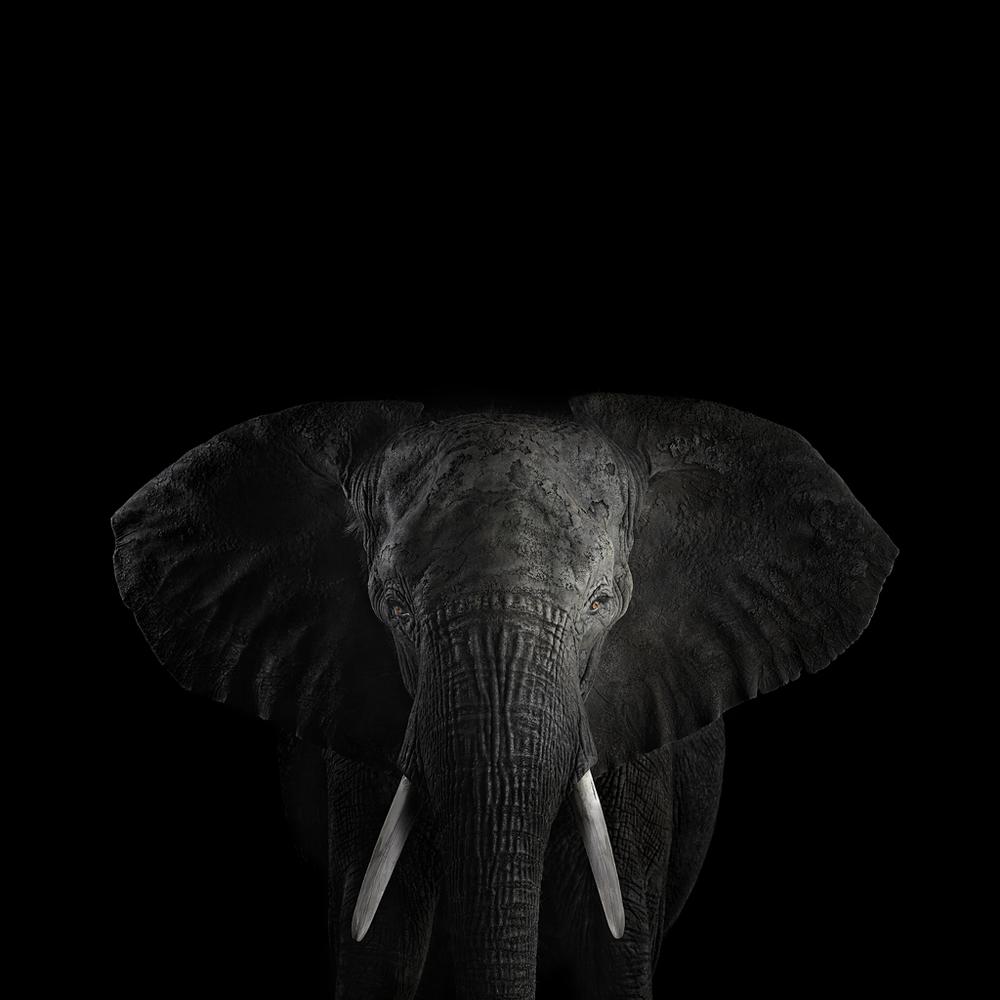 African Elephant #1, Los Angeles, CA, 2010 by Brad Wilson