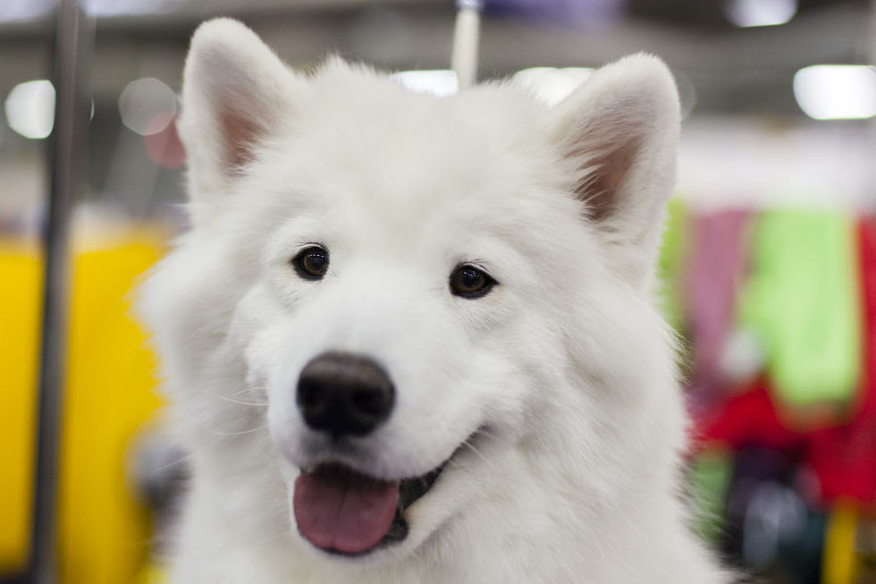 Laika is a Samoyed and lives here in Brooklyn. She loves eating string cheese, carrots, and cucumbers and sledding for exercise.