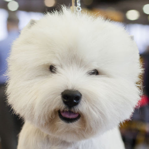 This is a pooch named Trouble and is a West Highland White Terrier from Baltimore. He uses a whitening shampoo in order to keep his bright coloring.