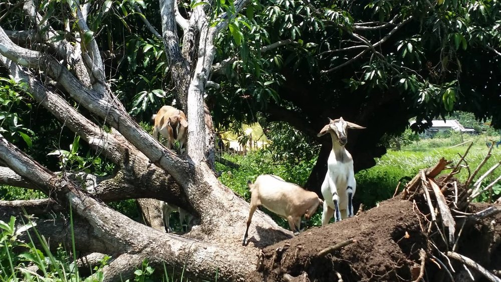 Goats in mango tree 2.jpg