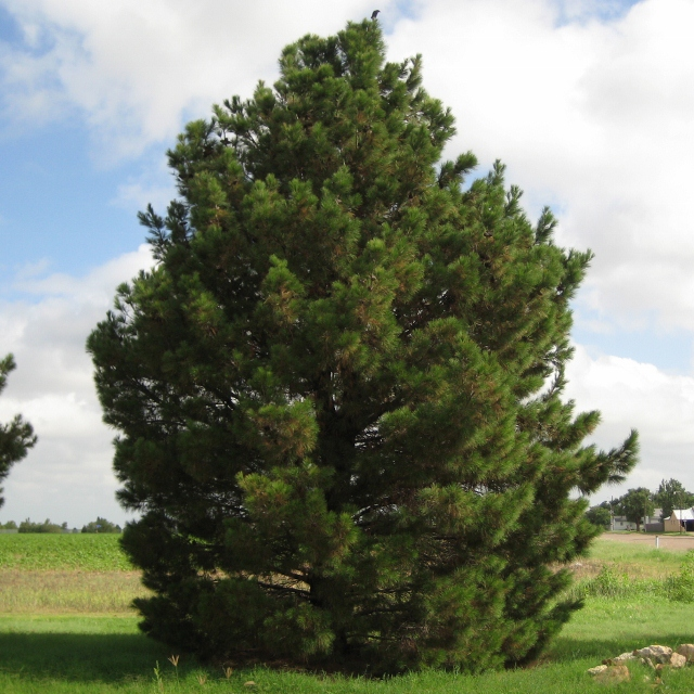 Afghan Pine Fourth Grade Foresters Usa