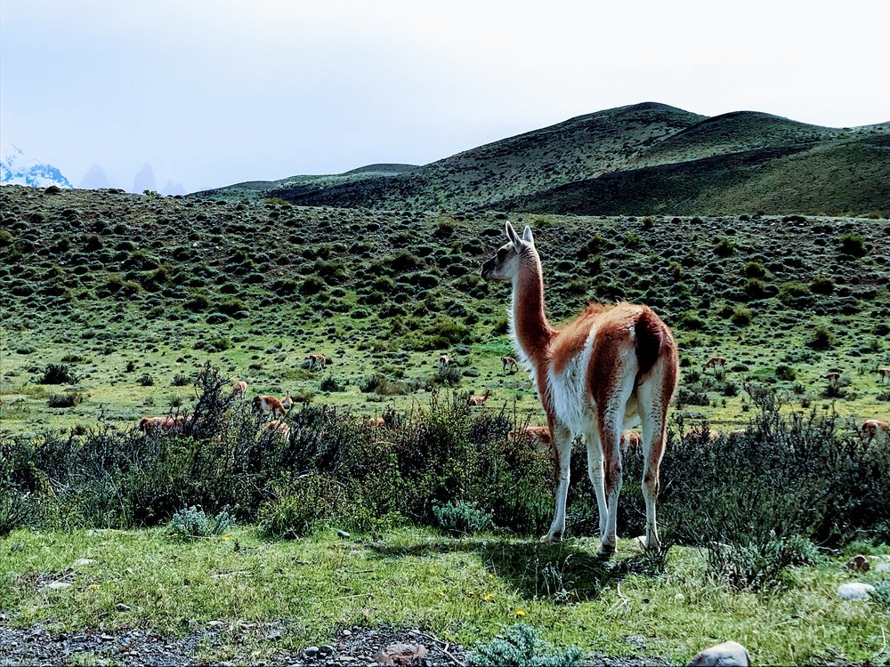 Guanaco sighting in Torres del Paine National Park