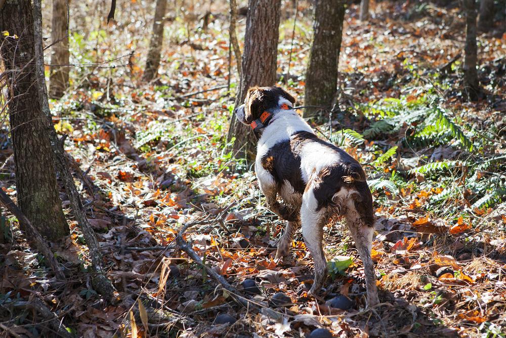 ADV007_hunting_dog.jpg