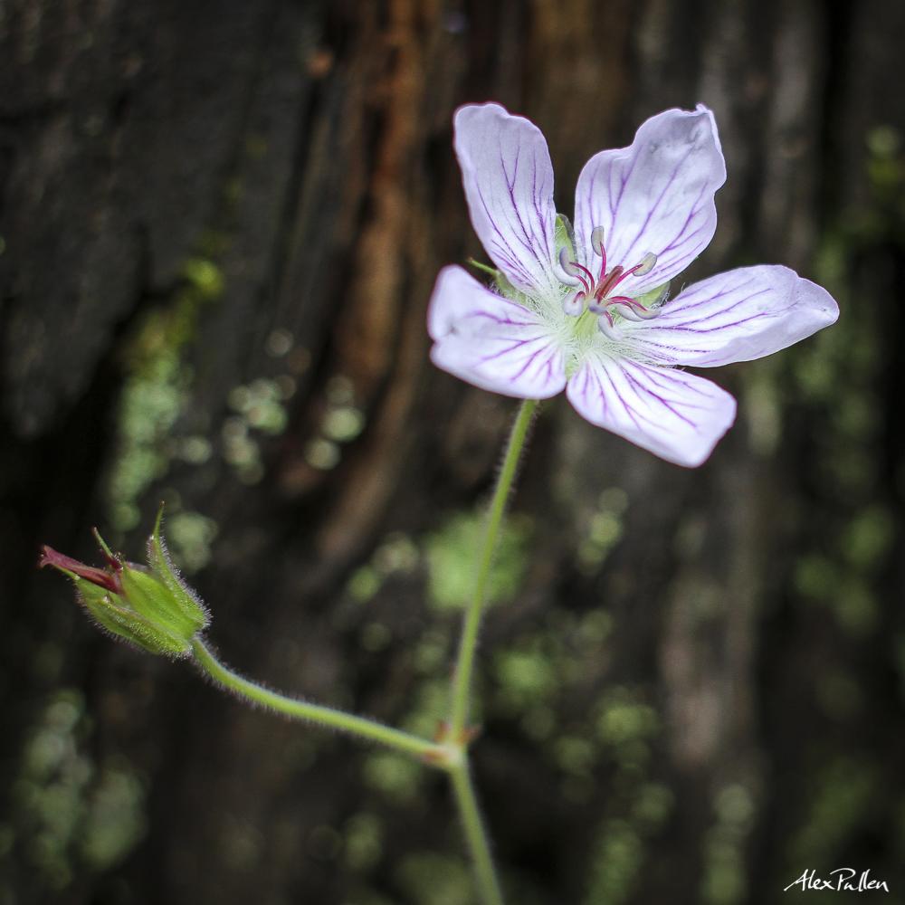 geranium kingsii